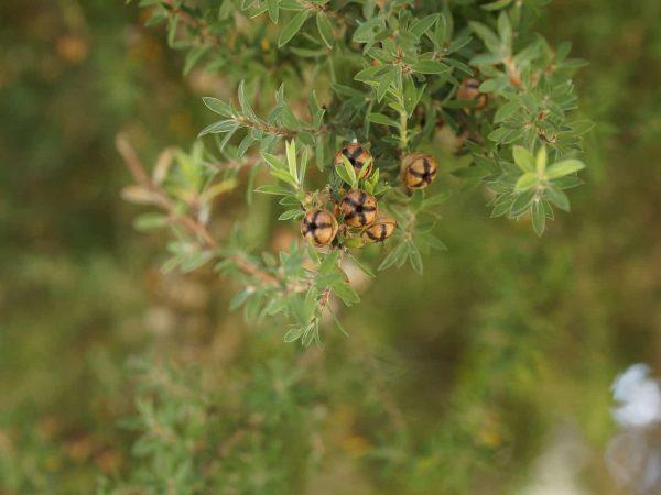 Nahaufnahme Früchte Teebaum
