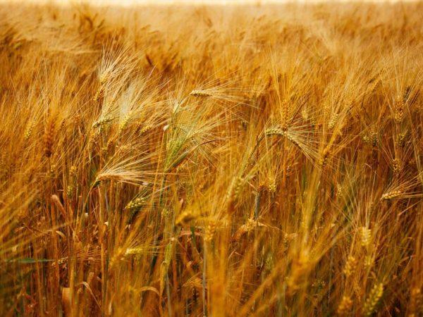 Zöliakie und Glutenunverträglichkeit: Ursachen & Auswirkungen