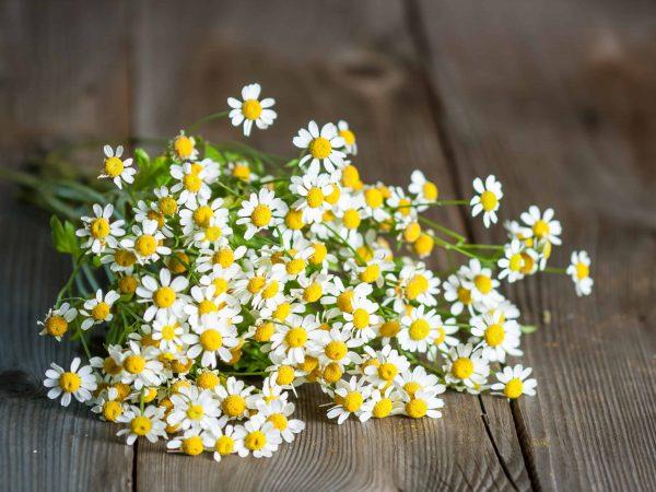 21824755 – feverfew (tanacetum parthenium), medicinal herb