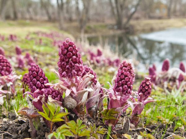 13606338 – blooming butterbur  spring landscape near the pond