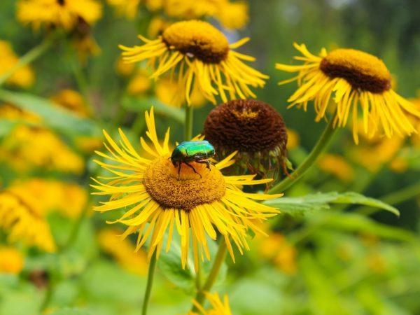 Der Alant, oder auch Echter Alant genannt, gehört zur Familie der Korbblütler. Seine Heilwirkung war bereits in der Antike schon bekannt. (Bildquelle: Ursula Schneider / unsplash.com)