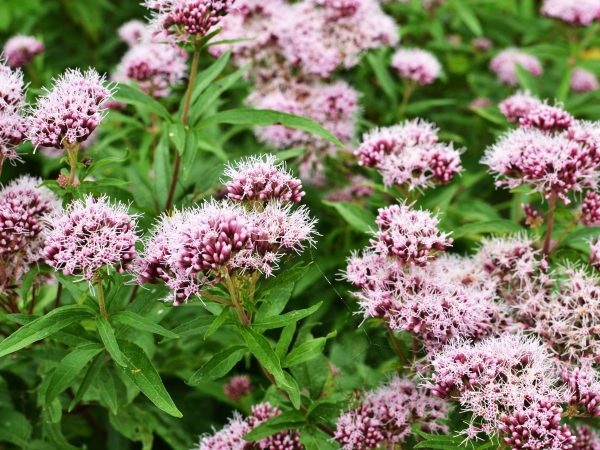 17449138 – along the boelekeerlpad in zelhem, the netherlands, the valerian is in bloom